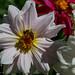 Dahlias, Botanical Garden Iasi by Cost3l