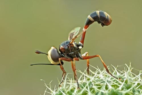 macro insetti diptera vittata physocephala