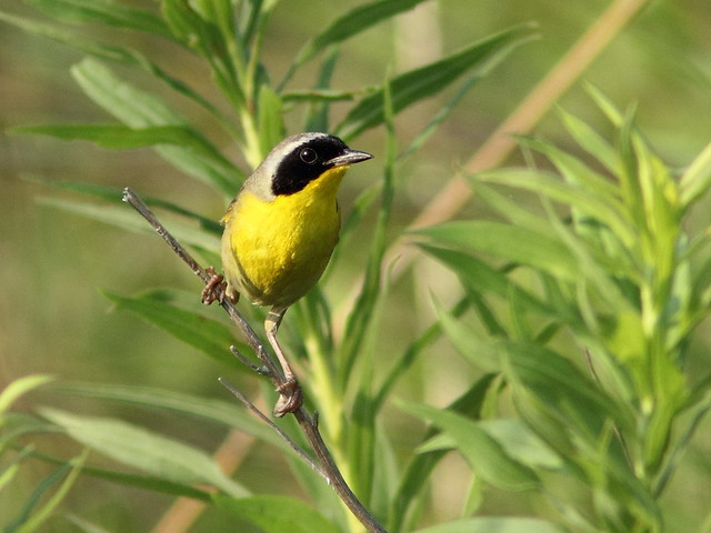 Common Yellowthroat 3-20120705