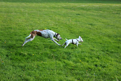dog sports, animal sports, animal, dog, grass, whippet, pet, mammal, meadow, pasture,