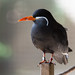 Small photo of Inca Tern