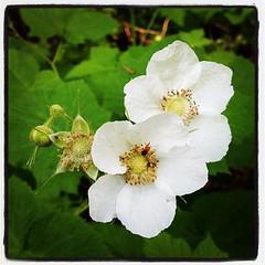 rosa wichuraiana(0.0), blossom(0.0), shrub(0.0), rosa rubiginosa(0.0), produce(0.0), rosa multiflora(0.0), rosa acicularis(0.0), flower(1.0), plant(1.0), rosa canina(1.0), rosa pimpinellifolia(1.0), petal(1.0),