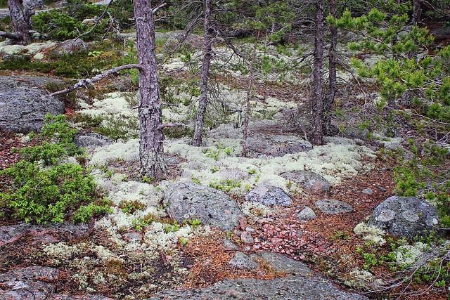 forest floor sedums