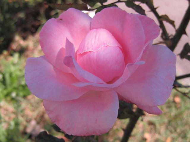 A Rosa desabrochando...