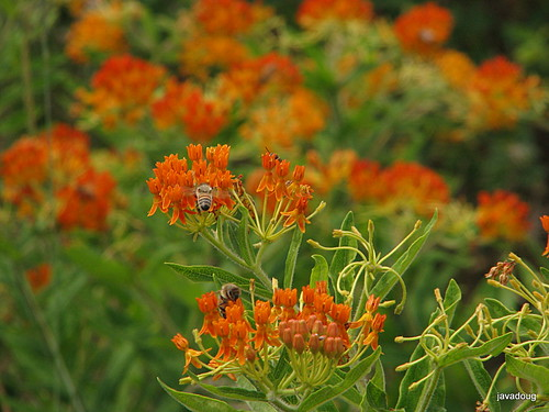 orange butterfly weed with honeybees