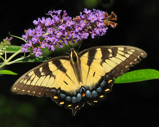 female Tiger swallowtail in the butterfly bush