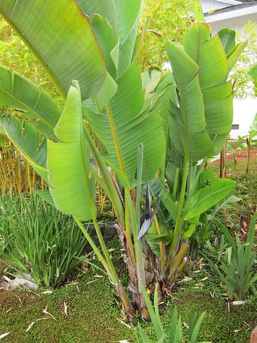 gian bird of paradise, blooming IMG_0731