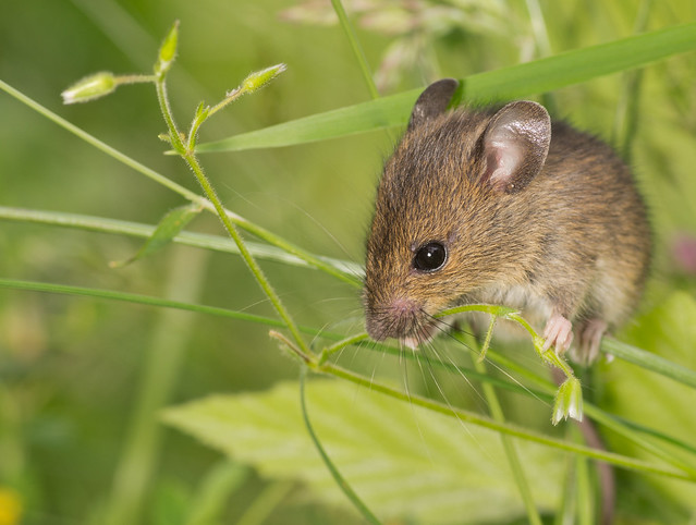 wood mouse in grass 3