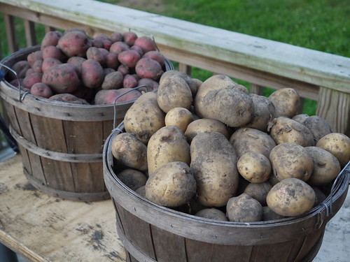 Our potato harvest
