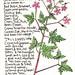 Weeds of St Leonards Nº2: Herb Robert or 'Stinking Bob' by EricaStLeonards