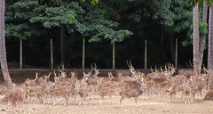 Dotted deer of Mysore Zoo