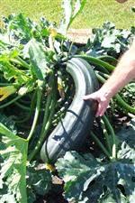 huge-zucchini (Custom)