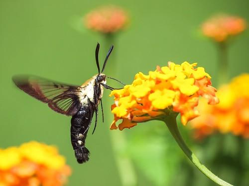 insect © moth lantana hemaristhysbe hummingbirdclearwingmoth garyburke backyardcritter olympuse620 earthnaturelife zuiko70300mmf56 justonestrangecritterremindsmeofahummingbirdmothbumblebeeandcrayfish