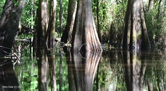Cypress trees on the flooded river bank