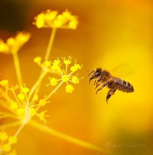 Honey bees love fennel