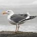 Birds: Gulls and Terns