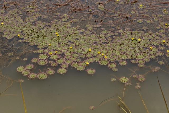 Ludwigia sedoides 110825-9740
