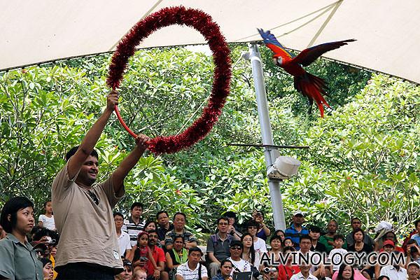 A scarlet macaw flying through hoops
