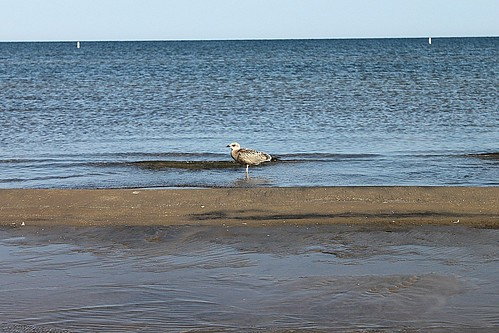 Female Ring-Billed Gull On Sand Bar At Wasaga Beach 002