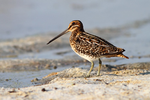 Common Snipe by Johnrw21