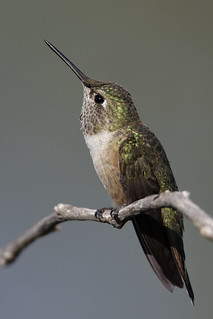 Hummingbird watching out for competition