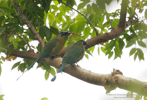 Blue-crowned-Motmot9306