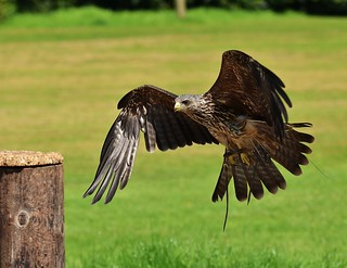 Black Kite, about to land!