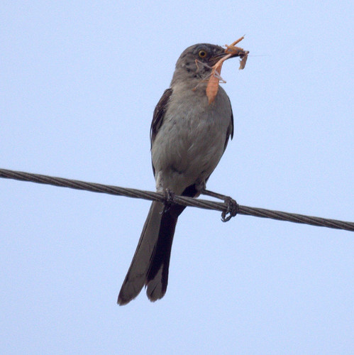 Mockingbird with an insect by Mike's Birds