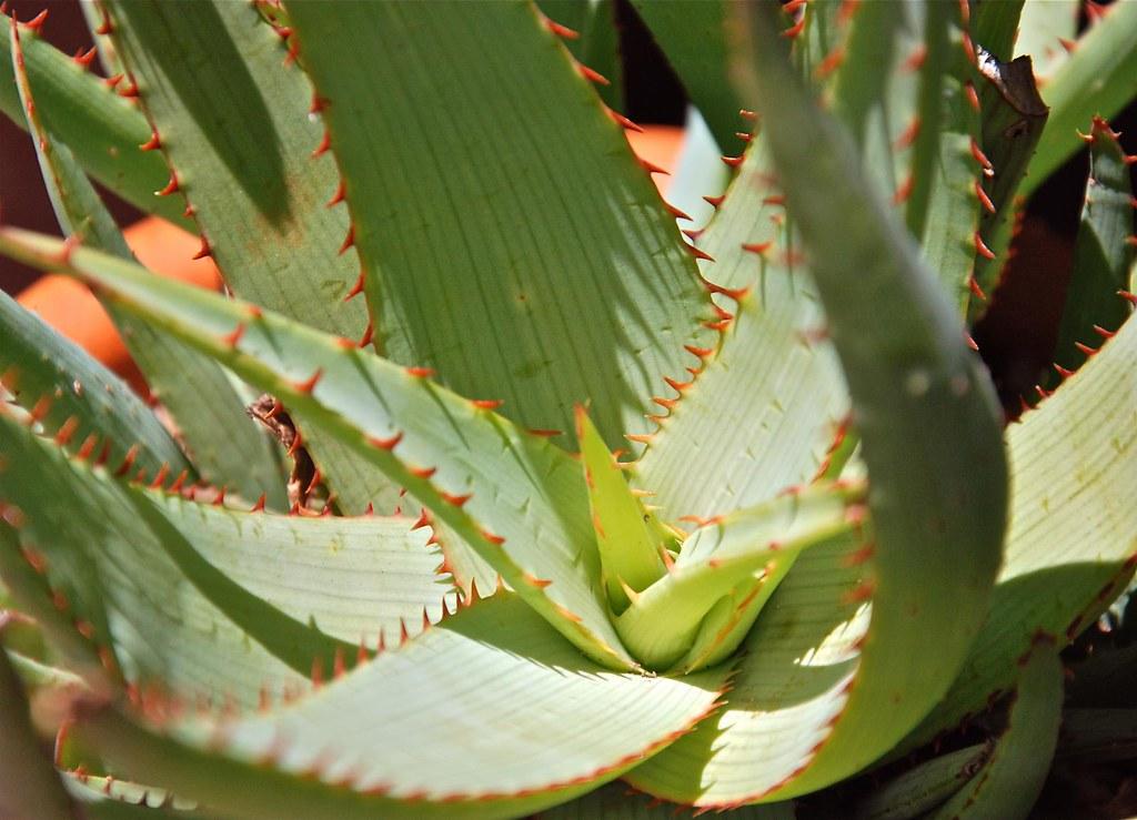 Aloe glaucus