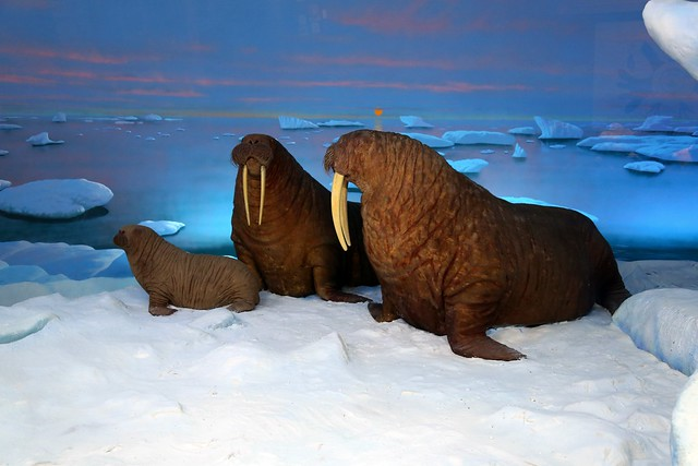 Arctic exhibit: Walruses