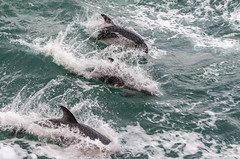 Black dolphins