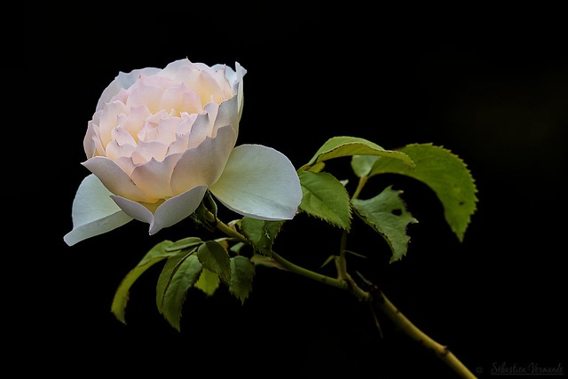 White Rose - Rose blanche