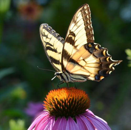 summer flower macro closeup butterfly echinacea backlit 1001nights lightroom tigerswallowtail thegalaxy tigerswallowtailbutterfly 1001nightsmagiccity