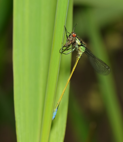 A real meal for a Damselfly_6112 by Andy Pritchard - Barrowford