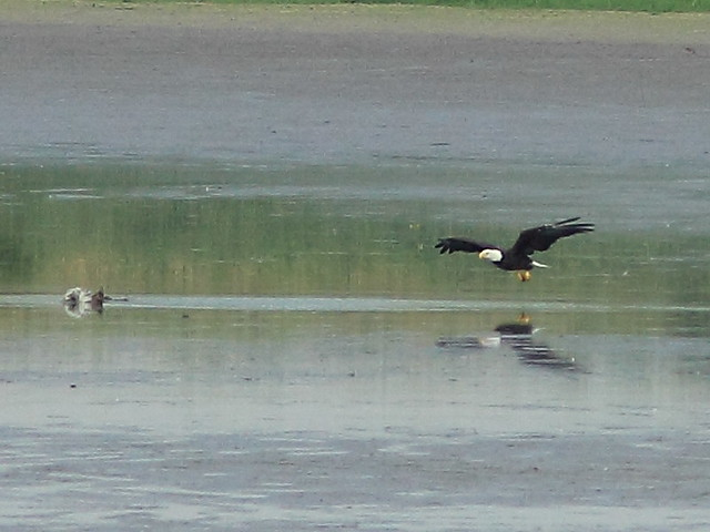 Eagle carries away duckling - enhanced 20120712