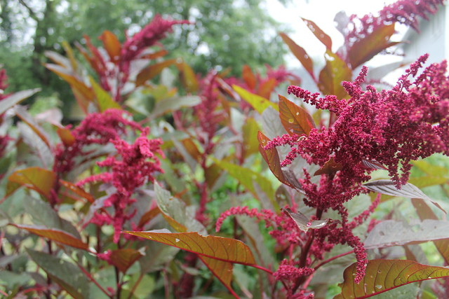 How to Process Amaranth
