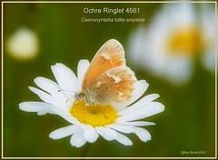 ochre ringlet butterfly photograph by Ron Birrell DSC_4561
