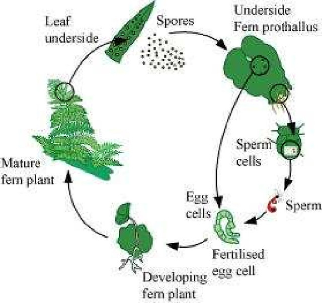 NCERT Solutions Class 11th Biology Chapter 3 Plant Kingdom