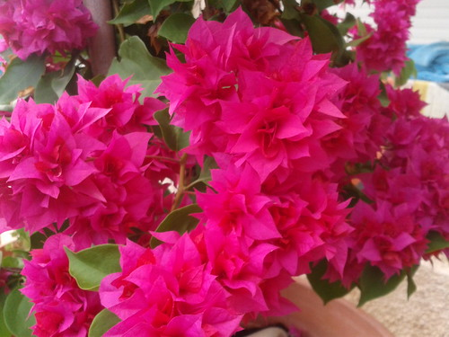 Bouganvilla in my backyard. by CyprusPictures