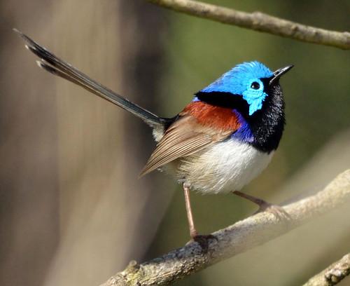無料写真素材, 動物 , 鳥類, ムナグロオーストラリアムシクイ