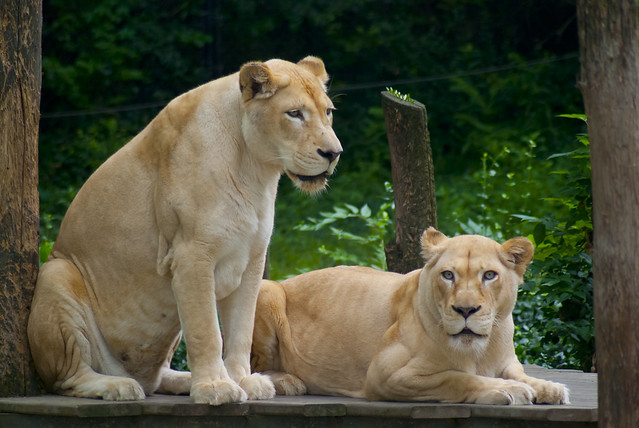Header of African Lion