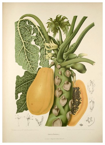 002-Papaya o melon de arbol-Fleurs, fruits et feuillages choisis de l'ille de Java-1880- Berthe Hoola van Nooten