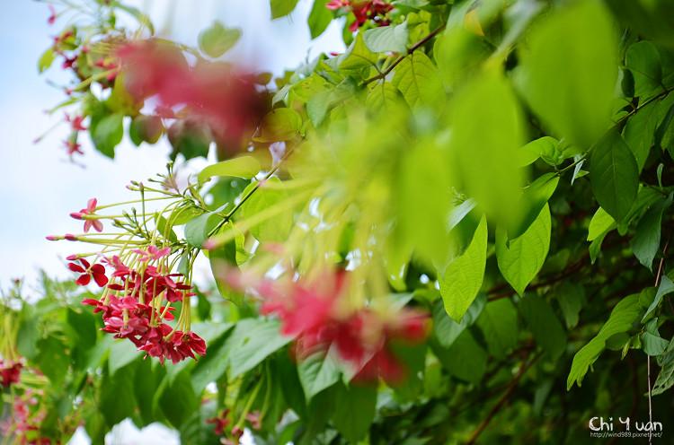 植物園使君子13.jpg
