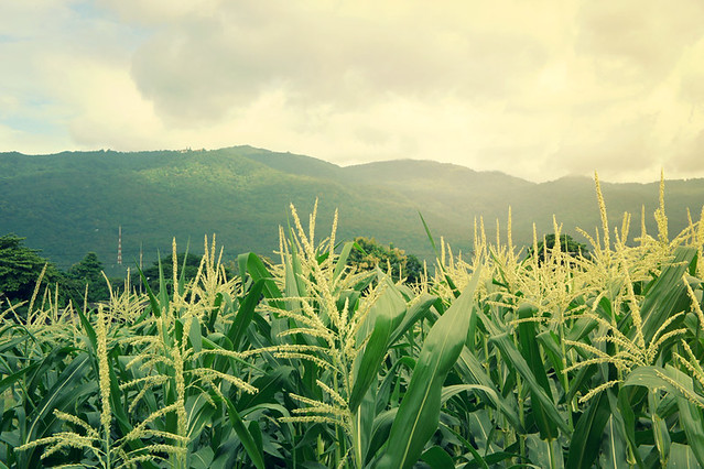 Corn stalks and view Doi Suthep mountain at the weekly fruit and veg market
