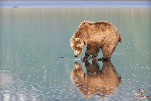 Brown Bear Admires Her Reflection