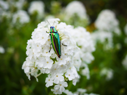 Jewel beetle by hyossie