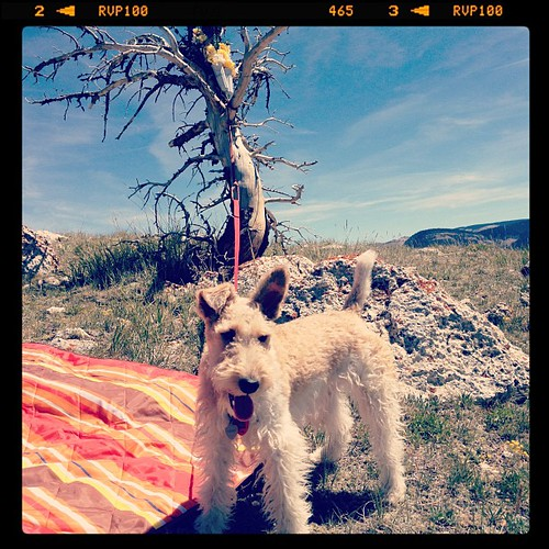 Gidget the Ginger Fox Terrier