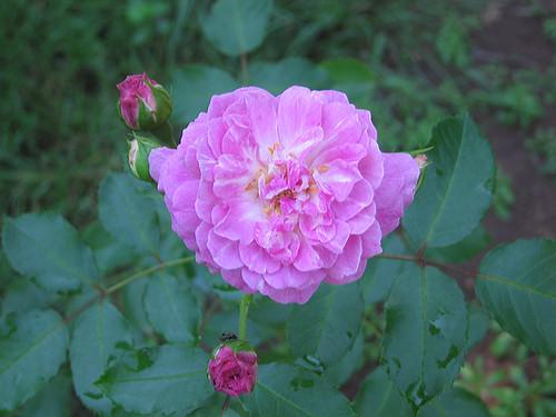 """Hybrid Musk Rose """"Lavender Lassie."""" by Leenechan"""
