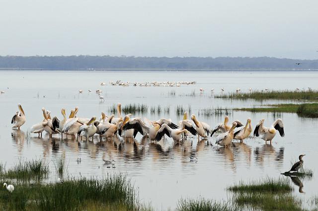 Parque Nacional del Lago Nakuru, pelícanos