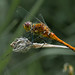 Common Darter Dragonfly-2